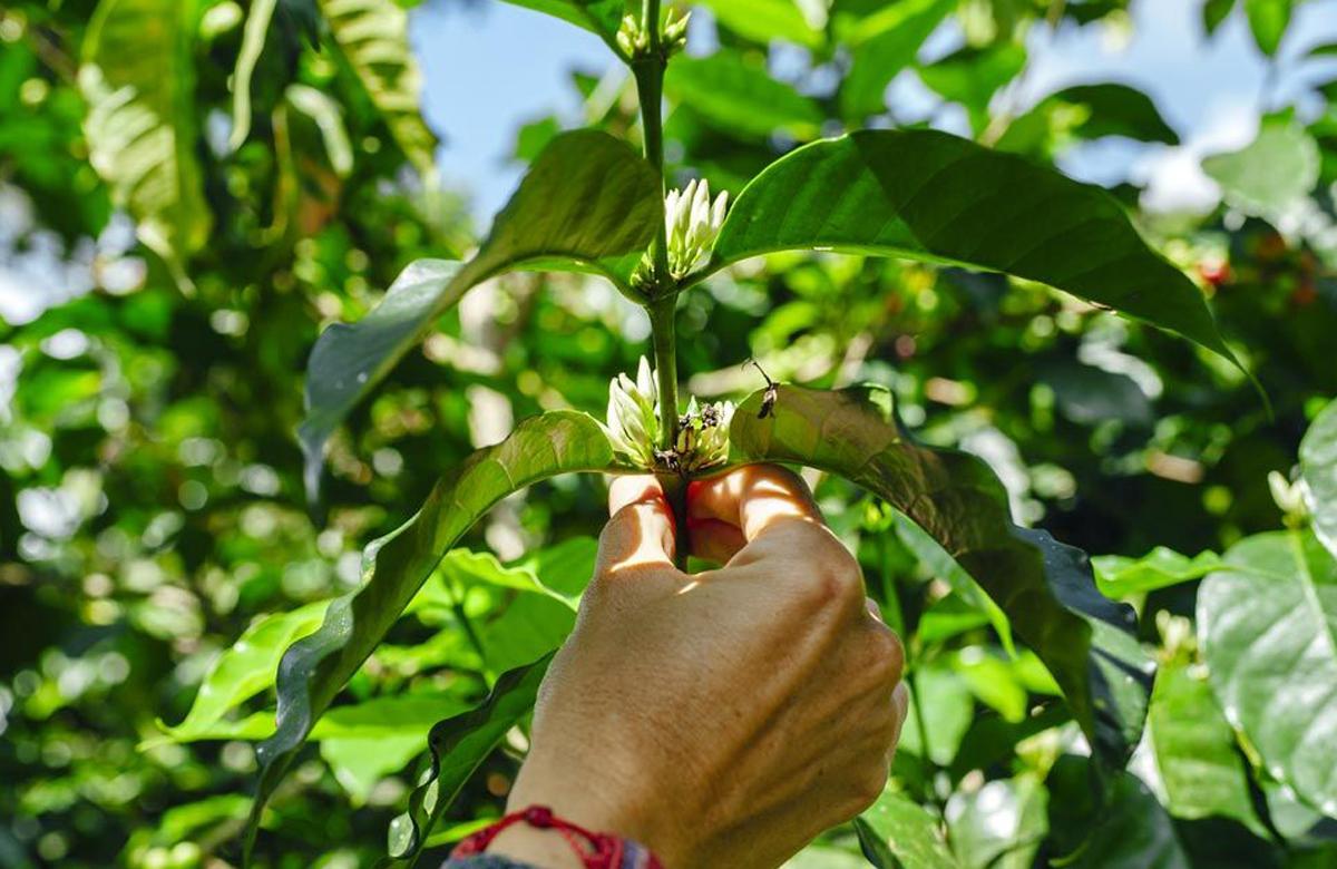 יד נוגעת בצמח הקפה